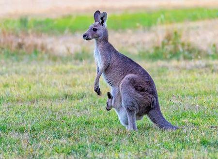 Billede til varegruppe Kænguru