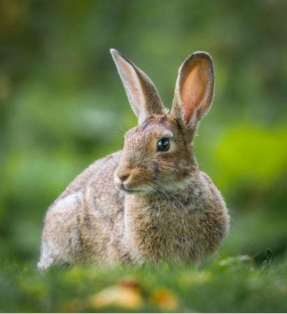 Billede til varegruppe Kanin